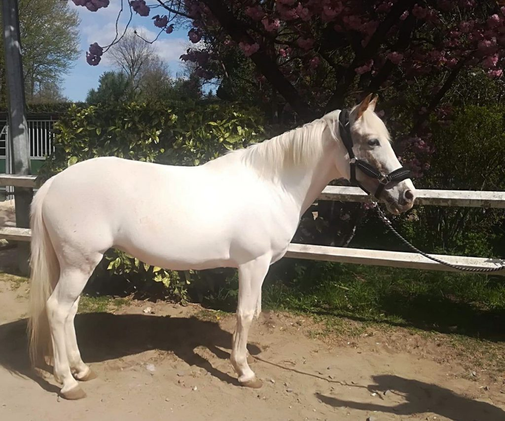 Poney Caline - Poney Club de Lamorlaye